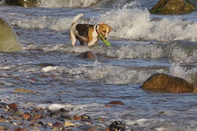Bild: Hund badet in der Ostsee